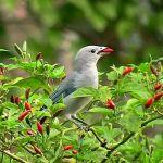 Burung makan cabai (healthyliving.natureloc.com)