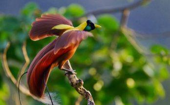 Cenderawasih Merah (xander-info.blogspot.co.id)