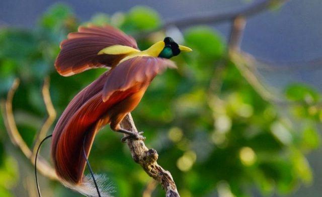 20 Jenis Burung Langka di Indonesia Lengkap dengan Gambar