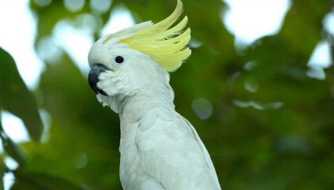 Kakatua Kecil Jambul Kuning (straitstimes.com)