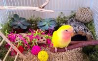 Lovebird tidak mau bunyi (pinterest.com)