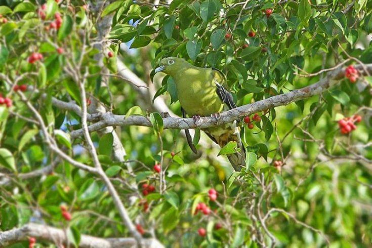 Punai Timor (supripakaian.blogspot.co.id)