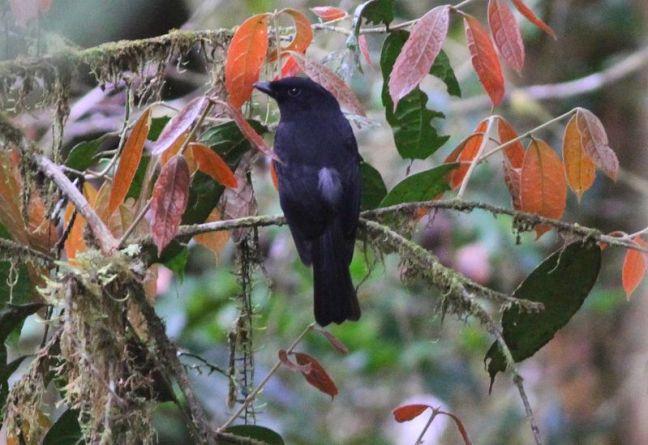 Burung Black Pitohui (ashleybanwellsbirding.com)