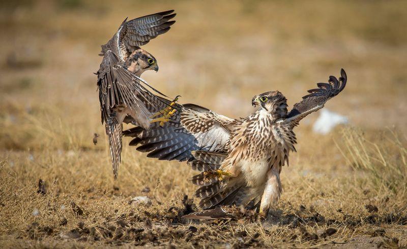 17 Fakta Menarik tentang Burung Falcon
