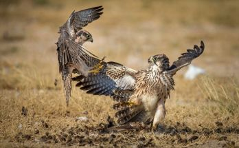 Burung Falcon (travelafricamag.com)