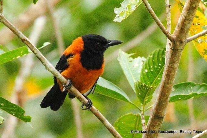 Burung Hooded Pitohui (hbw.com)