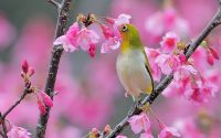 Burung Pleci menghisap nektar (tulaoer.org)