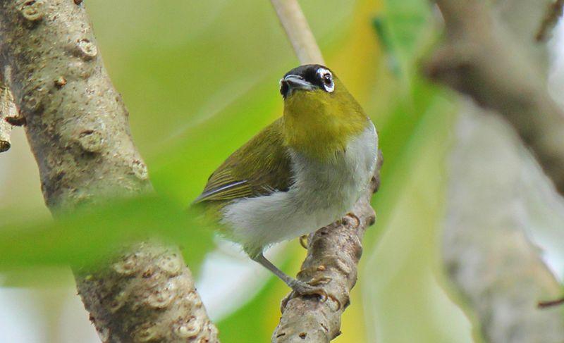 Burung Pleci (nhptv.org)