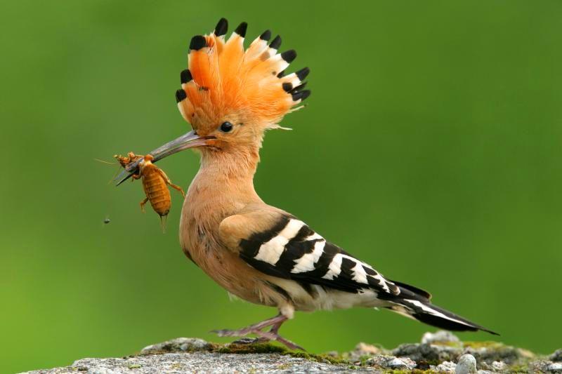 Burung Hoopoe (agroponatura.pl)
