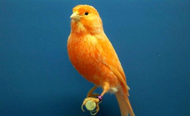 10 Tips Perawatan Burung Kenari untuk Pemula yang Baru Pertama Kali Pelihara Burung