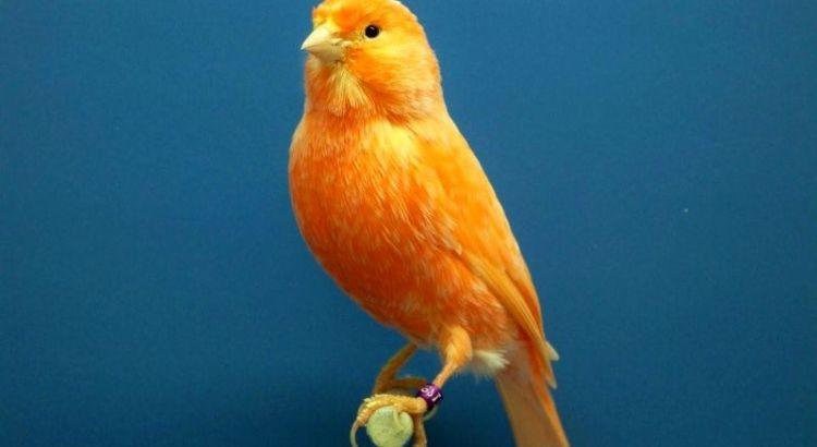 Burung Kenari (pinterest.com)