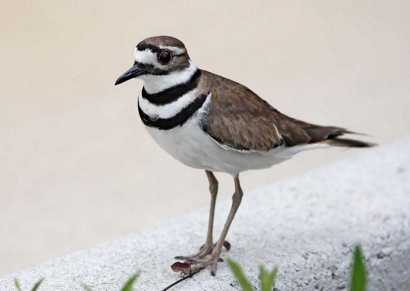Burung Killdeer (pinterest.com)