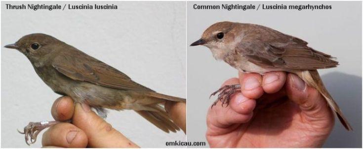 Burung Thrush Nightingale dan burung Common Nightingale (omkicau.com)