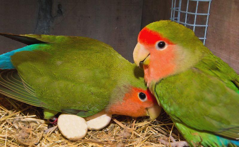 7 Cara Paling Ampuh Membuat Lovebird Cepat Bertelur, Banyak Peternak yang Berhasil