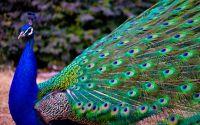 Burung Merak (lanlinglaurel.com)