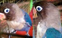 Lovebird unik dengan mata biru blue eyes (facebook.com)