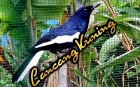 Kacer Jawara Lancang Kuning (Facebook.com)