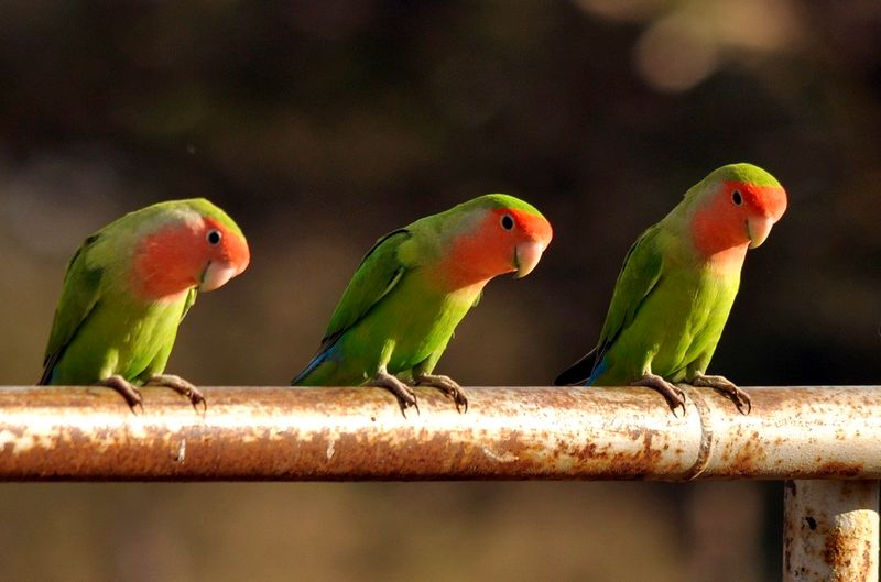 Lovebird Balibu (wilkinsonsworld.com)
