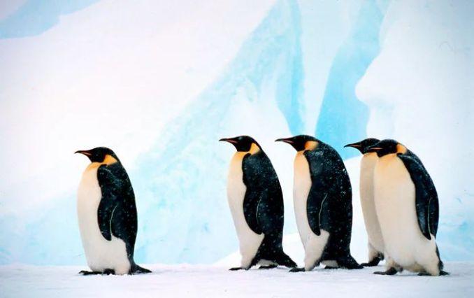 Penguin Emperor baris (Fritz Pölking-WWF-theguardian.com)