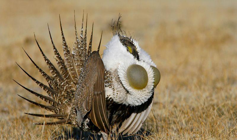 Burung Sage Grouse Jadi Burung Paling Unik di Dunia Karena Punya Payudara?