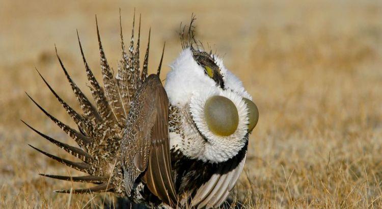 Burung Sage Grouse (audubon.org - Brian E. Small/ Vireo)