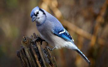 Burung Blue Jay (wikimedia.org)