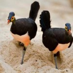 Burung Maleo terancam punah (Baomoi.com)