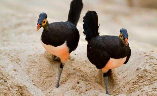 122 Spesies Burung Terancam Punah, Burung Maleo Hadapi Ancaman Serius