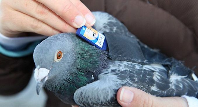 Burung Merpati Pos mengirim memori SD Card (dailymail.co.uk-Barry Bland-Bacroft USA)
