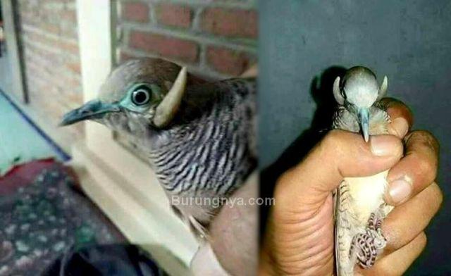 Video Penampakan Burung Perkutut Bertanduk, Asli atau Palsu?