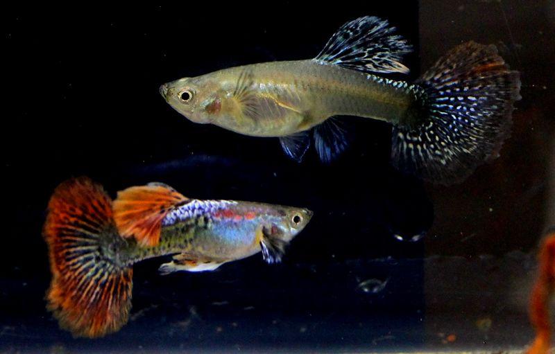 Ikan Guppy (jualguppy.com)