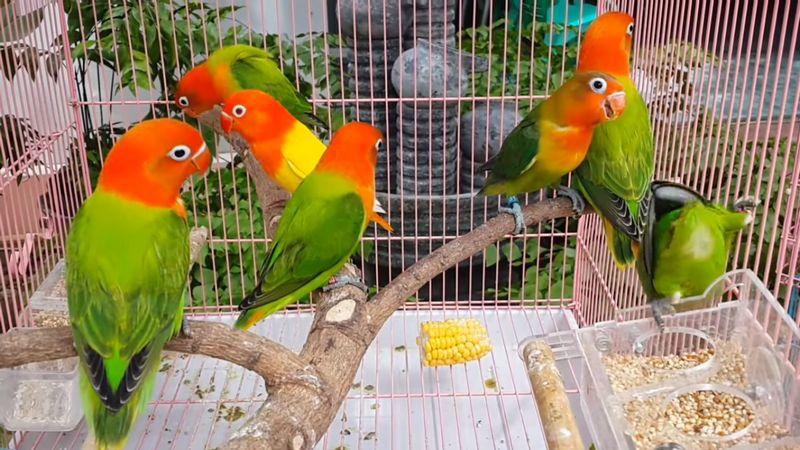 Lovebird Opaline fischeri Euwing (YouTube.com)