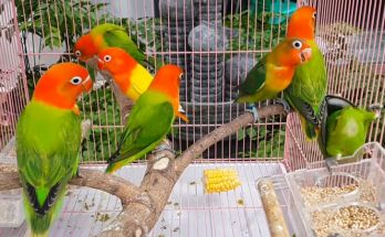 Lovebird Opaline fischeri Euwing (YouTube.com)