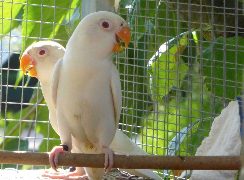 Lovebird Albino (Pinterest.com)