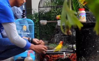 Lovebird Kiranty dijadikan satu dengan Lovebird betina (YouTube.com)