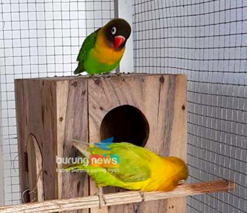 Lovebird Kusumo di depan glodok (burungnews.com)