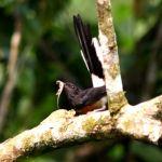 Burung Murai Batu makan cicak (dwnkosmik.dbp.my)