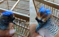 Burung Perkutut Songgo Ratu Jambul Unik (facebook.com)