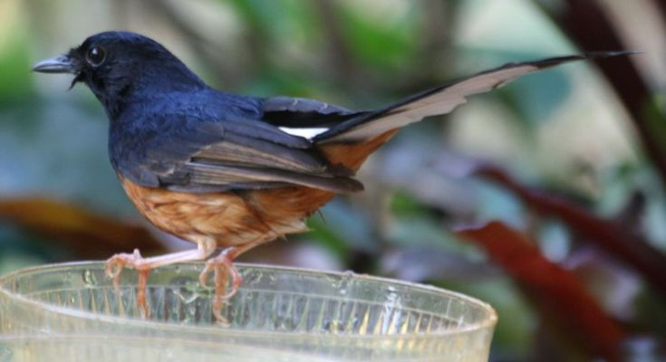 Burung Murai Batu serak (wikimedia.org)