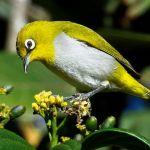 Burung Pleci macet bunyi (wikipedia.org)