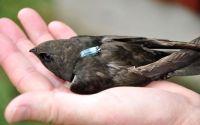 Fakta menarik tentang burung Walet (phys.org)