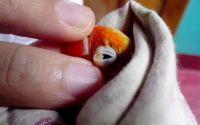 Penyakit mata snot pada Lovebird (kaskus.co.id)