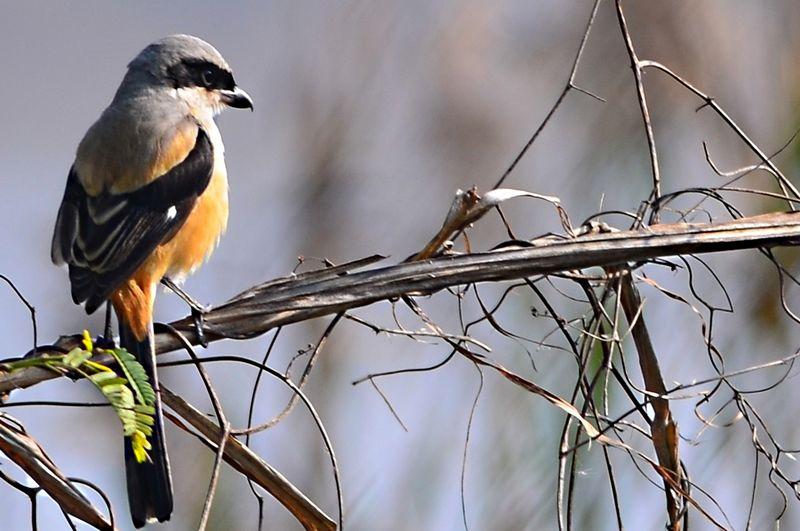 Burung Cendet berburu mangsa di alam (hotspotbirding.com)