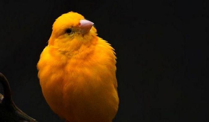 Jenis burung Kenari Taiwan (pinterest.com)