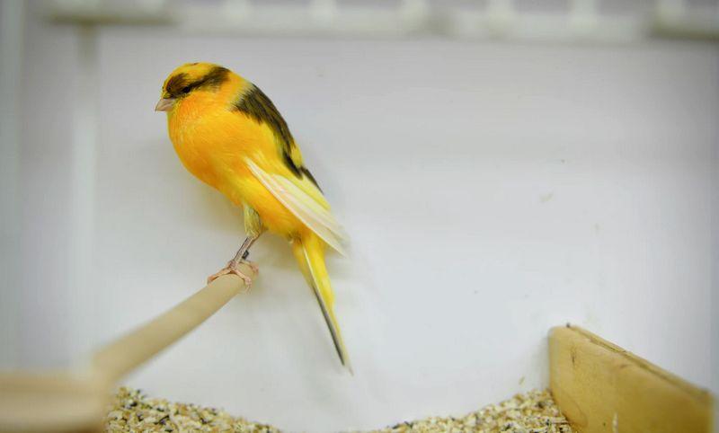 Jenis burung Kenari Yorkshire (500px.com)