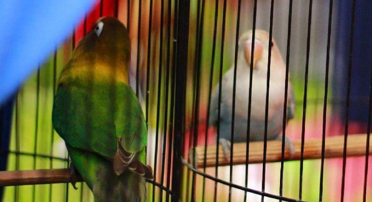 Settingan Lovebird Shae ngekek 2 menit (instagram.com)