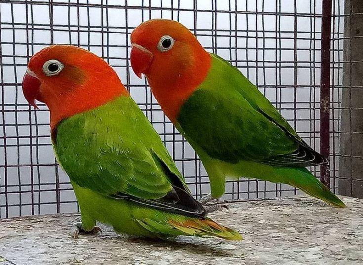 Asal Usul Lovebird Biola (imgrum.org)