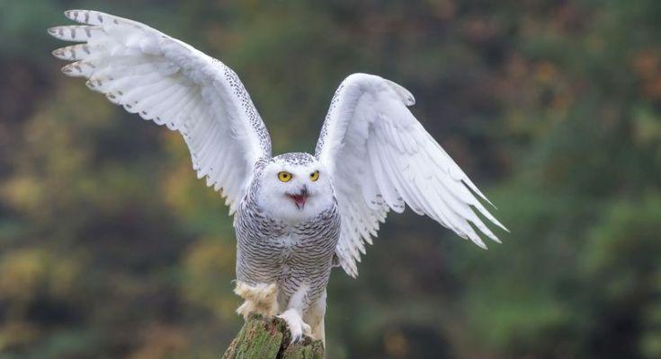 Burung Hantu Putih atau Snowly owl (Phoochan.com)