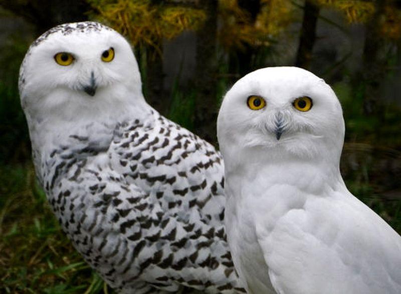 Cara membedakan burung Hantu Putih jantan dan betina (imgfave.com)