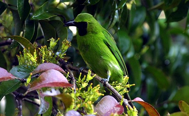 Cucak Ijo Banyuwangi di hutan (mangoverde.com)